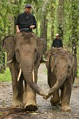 Sumatra, Indonesia - July 24, 2007: Mother and child Asian elephants walking holding trunks. Front on shot. Vertical