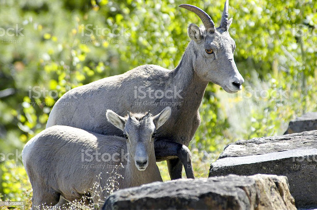 Mother and Baby Big horn sheep stock photo