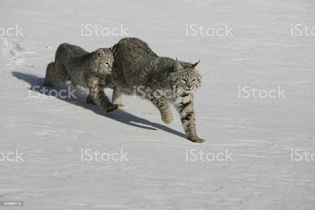 Mother and Baby Bobcat royalty-free stock photo