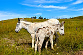 Mother and baby burro  at Custer State Park, South Dakota