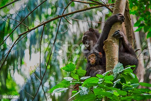 A female Chimpanzee (Pan troglodytes) and her baby sitting on a tree. SHOT IN WILDLIFE in Gombe Stream National Park in Western Tanzania.