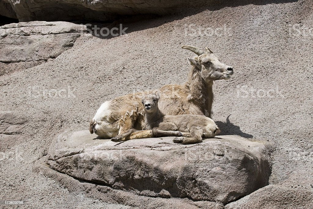 Mother and Baby Dall Sheep stock photo