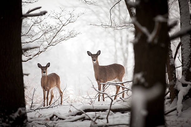 Mother and baby deer stock photo