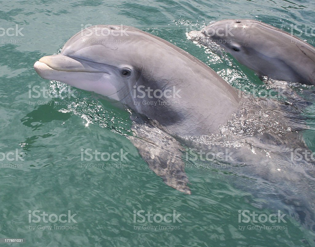 Mother and Baby Dolphin stock photo