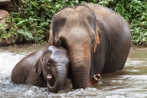 Mother and Baby Elephant Bathing in the River stock photo