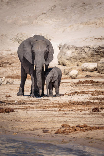 Mother and baby Elephant. Chobe River, Botswana, Africa stock photo