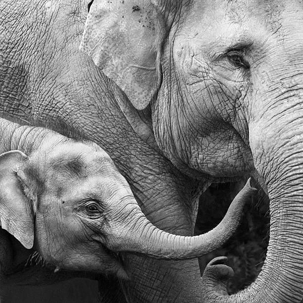 Mother and Baby Elephant - Close-up  elephant calf stock pictures, royalty-free photos & images