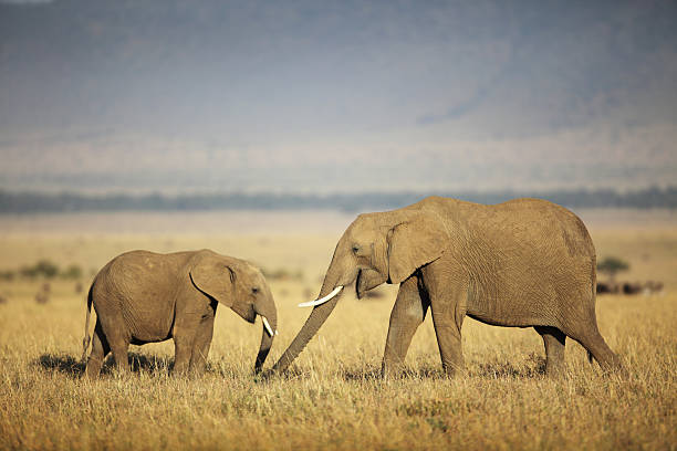Mother and baby elephant in the field stock photo