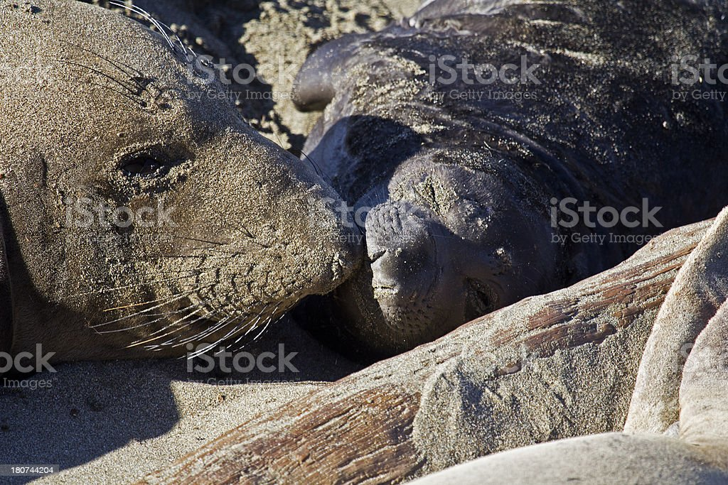 Mother and baby Elephant Seals royalty-free stock photo