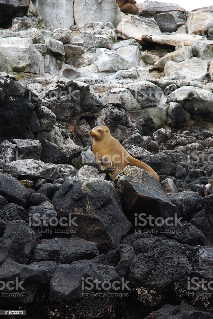 Mother and Baby Galapagos Sea Lions on the Rocks stock photo