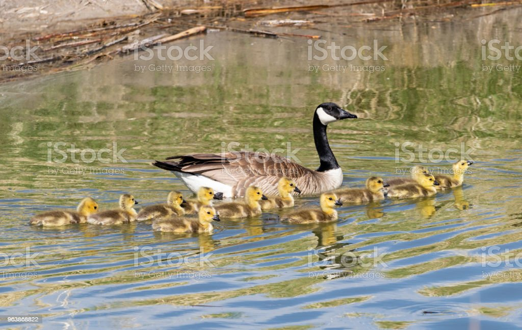 Mother and Baby Geese - Royalty-free Animal Stock Photo