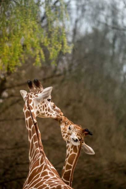 Mother and Baby Giraffe Kissing, Selective Focus Mother and Baby Giraffe Kissing, Selective Focus, Africa animal family stock pictures, royalty-free photos & images
