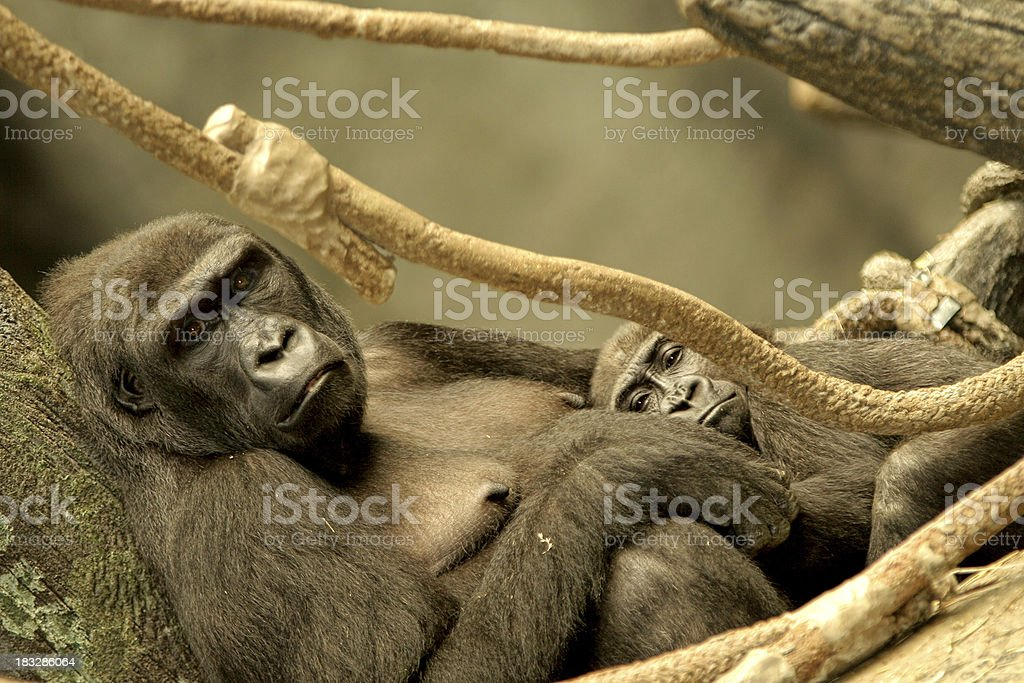 Mother and Baby Gorilla royalty-free stock photo