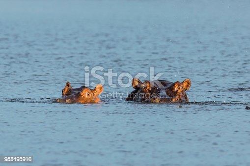 istock Mother and baby Hippopotamus Hippo semi submerged at Lake Kariba Zimbabwe 958495916