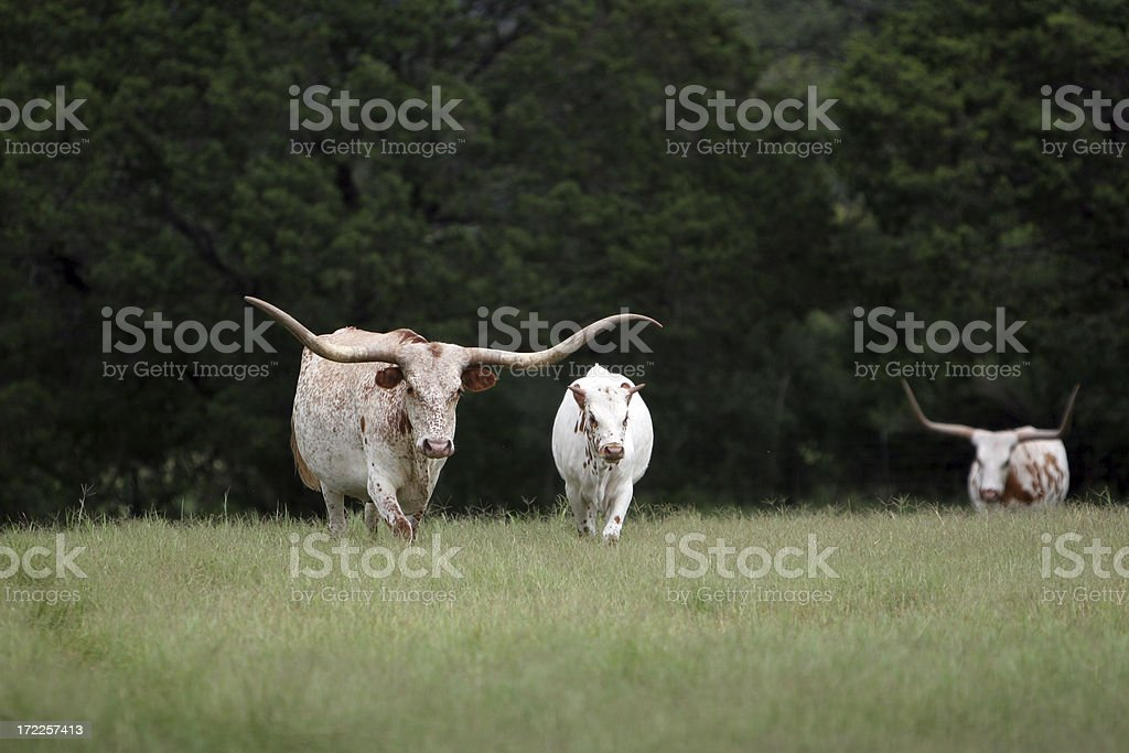 Mother and Baby Longhorns stock photo