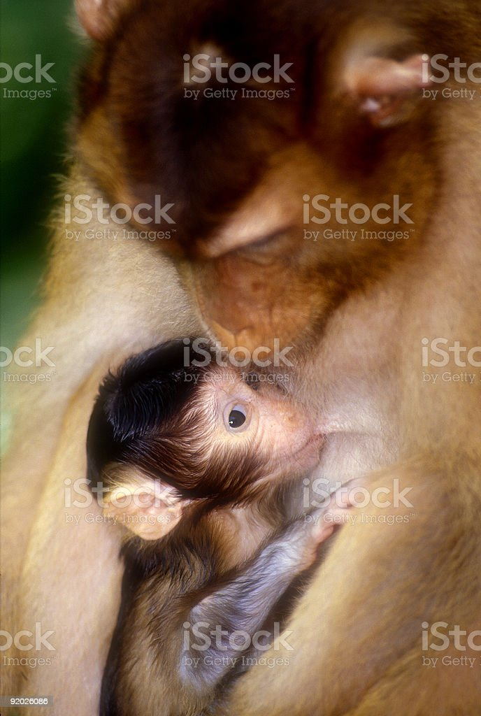 Mother and baby macaque stock photo