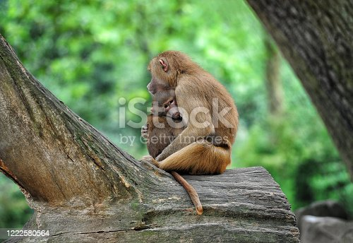 Scene of mother monkey holding her child (concept comfort, parenthood, friendship, love)