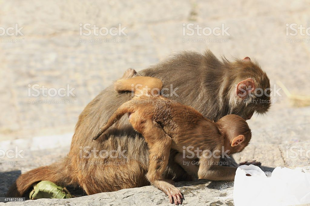 Mother and baby monkeys-macacus rhesus-Pashupatinath temple. Deopatan-Kathmandu-Nepal. 0285 stock photo