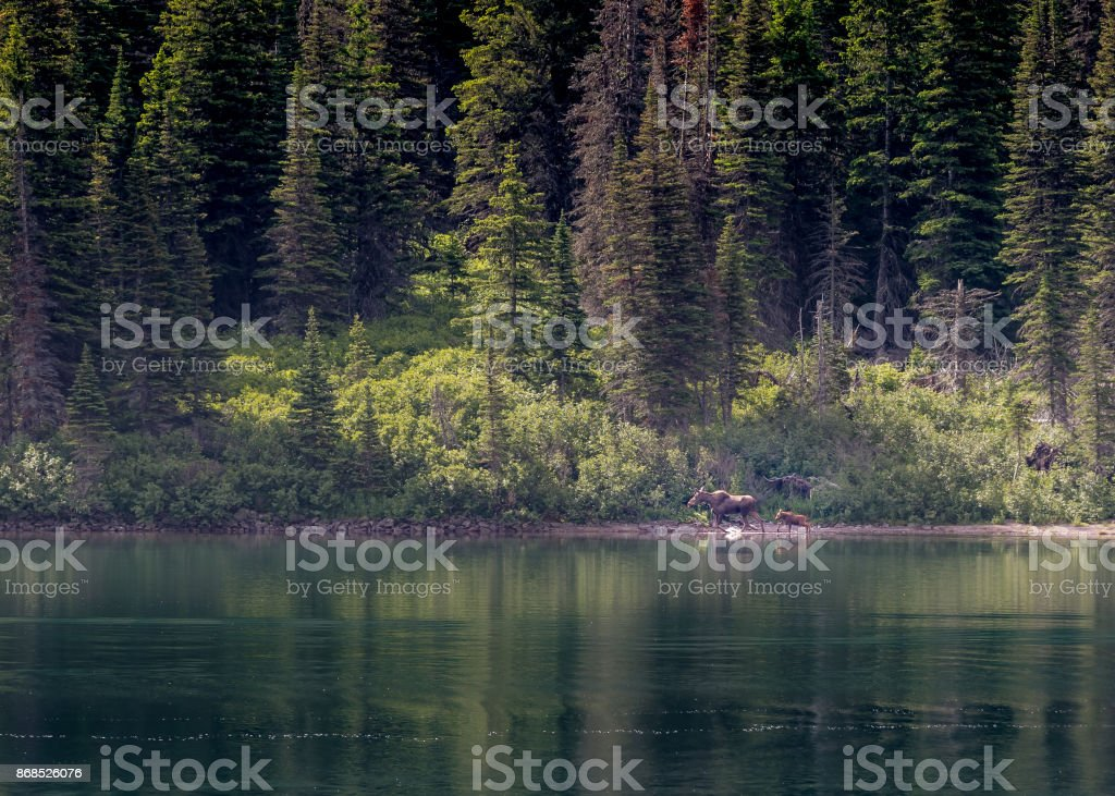 Mother and Baby Moose Across Lake stock photo