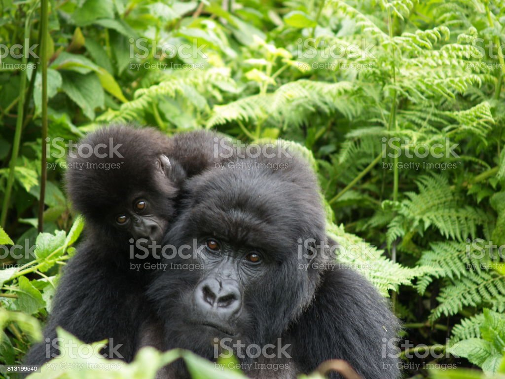 Mother and baby mountain gorilla, Rwanda stock photo