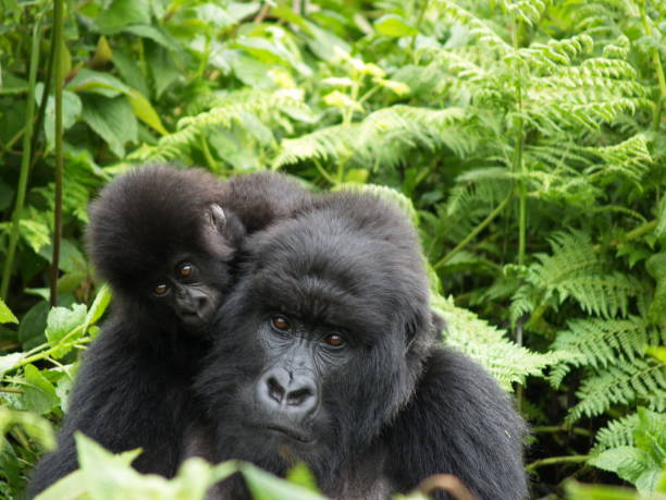 mother and baby mountain gorilla, rwanda - gorilla stock photos and pictures