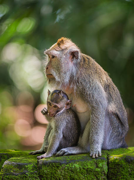 Mother and Baby of Long-tailed Macaques on Bali, Indonesia stock photo