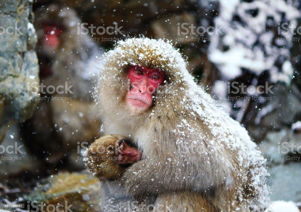 Madre Y Bebé De Mono En Blanco Nieve En El Parque Natural De La