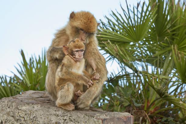 mère et le bébé des barbarie macaques de gibraltar. - singe magot photos et images de collection