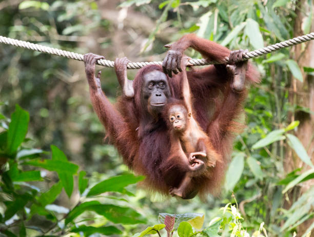 Mother and Baby Orangutan Close-up in Borneo Mom and baby orangutan relax together while hanging onto a rope in Sepilok, Borneo, both look content, no worries, funny expression on baby. island of borneo stock pictures, royalty-free photos & images