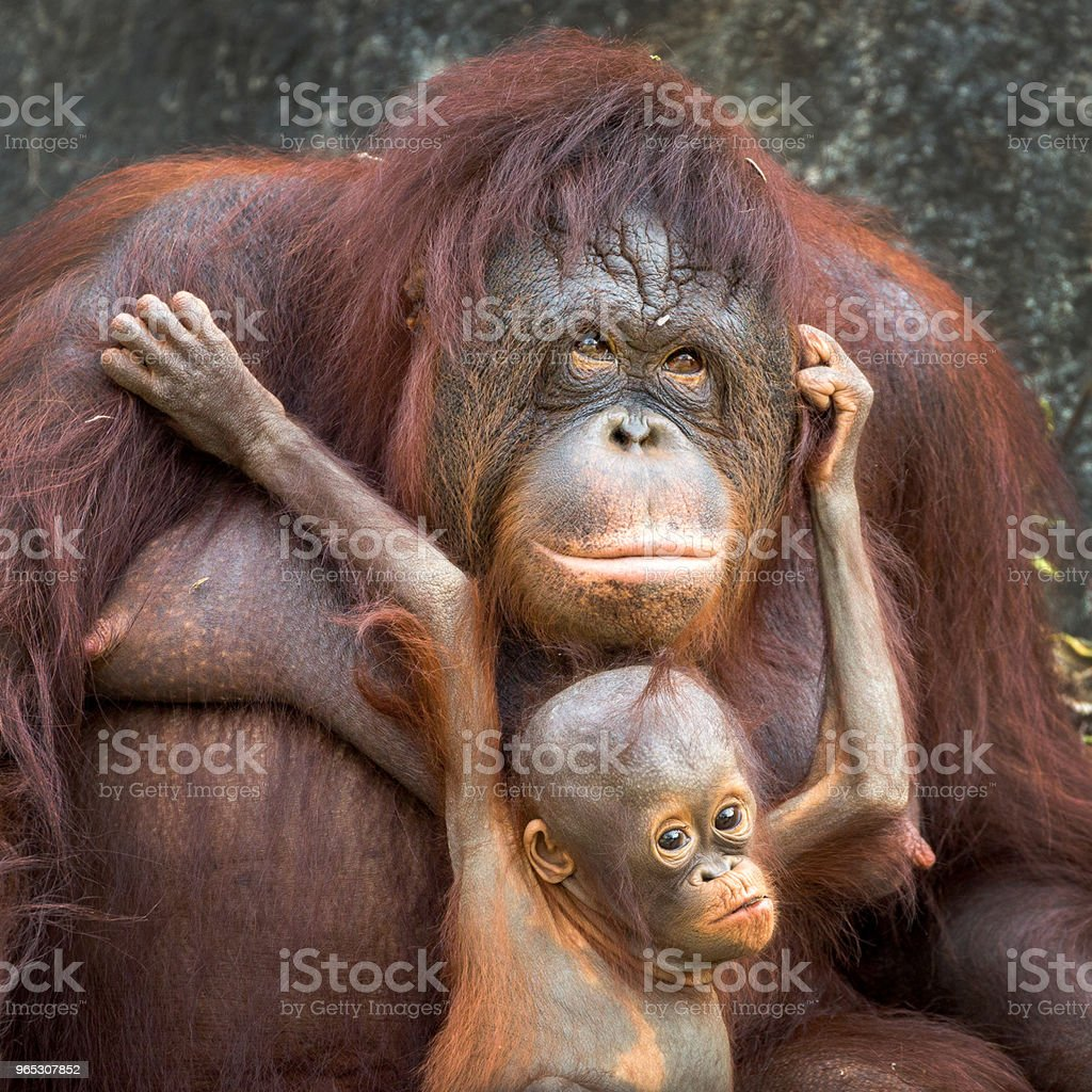 Mother and baby orangutan. royalty-free stock photo