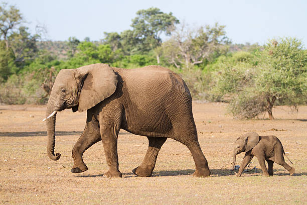 Mother and baby A baby African elephant calf following its mother elephant calf stock pictures, royalty-free photos & images