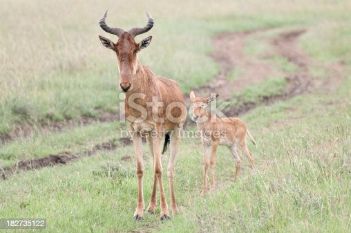Female Coke's Hartebeest stands protectively whilst her young seeks safety behind.