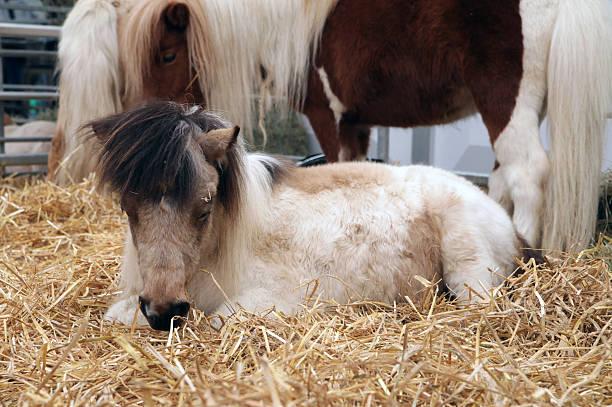 mutter und baby pony in stroh - traumscheune stock-fotos und bilder