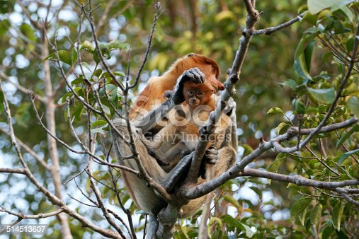 Wild female proboscis monkey in Tanjung Puting National Park near Camp Leakey in Indonesia's Borneo.