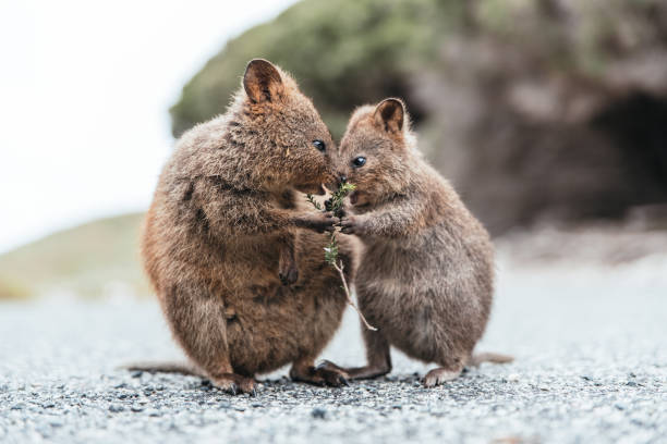 Mother and baby quokka eating green twigs. Cute quokkas on Rottnest Island, Western Australia. Animal family of Quokkas. Close up image. animal family stock pictures, royalty-free photos & images