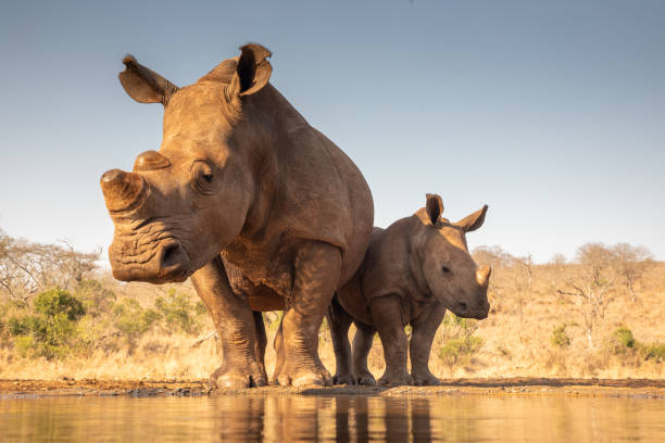 Mother and baby rhino getting ready to drink A mother and baby rhino approach a pond for drinking rhinoceros stock pictures, royalty-free photos & images