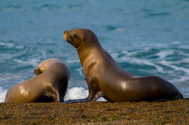 Mother and baby sea lion, Mother and baby sea lion, Patagonia south american sea lion stock pictures, royalty-free photos & images