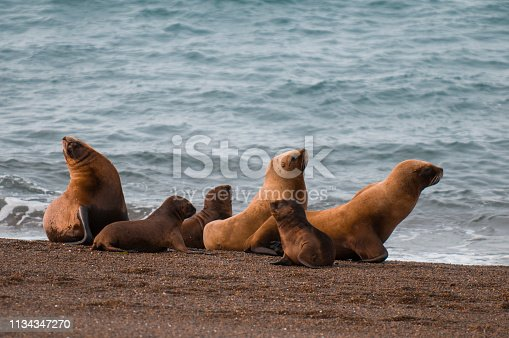 Mother and baby sea lion, Patagonia Argentina