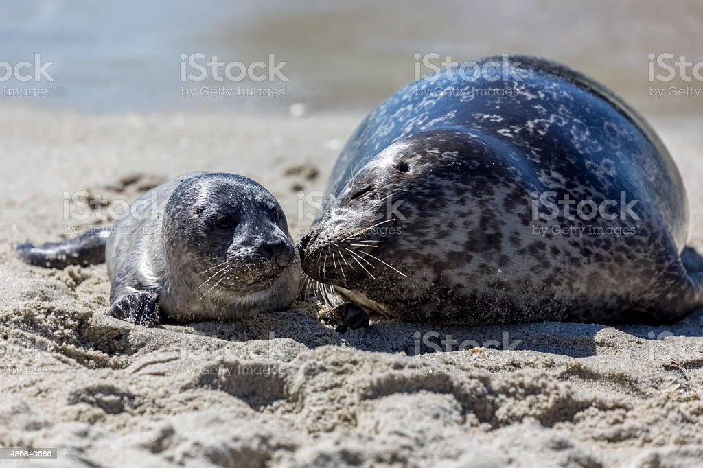 Mother and Baby Seals, San Diego, California stock photo
