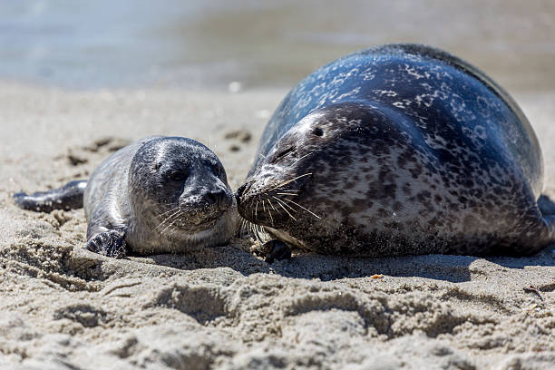 Mother and Baby Seals, San Diego, California Mother and baby seal at La Jolla Beach San Diego, California. The mother is kissing its child. seal pup stock pictures, royalty-free photos & images