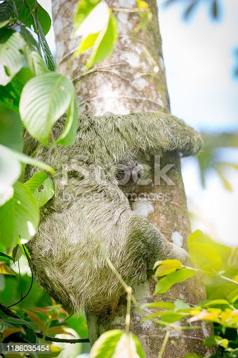 A three day old baby sloth peeks out from behind his mother high in a tree in the Costa Rica rainforest.
