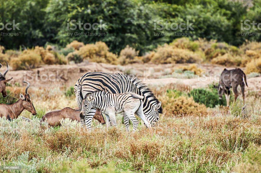 Mother and Baby South African Zebras royalty-free stock photo