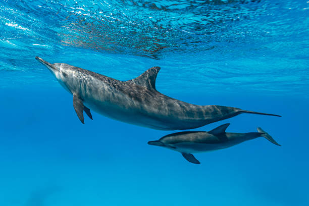 mother and baby  Spinner dolphins (Stenella longirorstris) swimming over sand in Sataya reef, Egypt, Red Sea stock photo