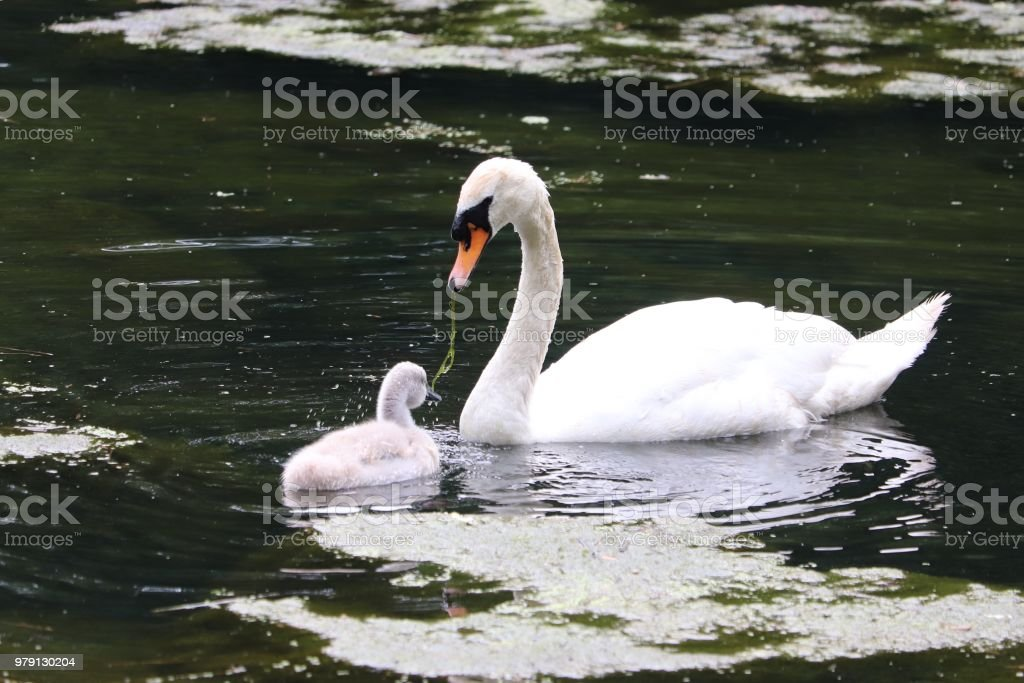 Mother and baby swan sharing a pond leaf stock photo