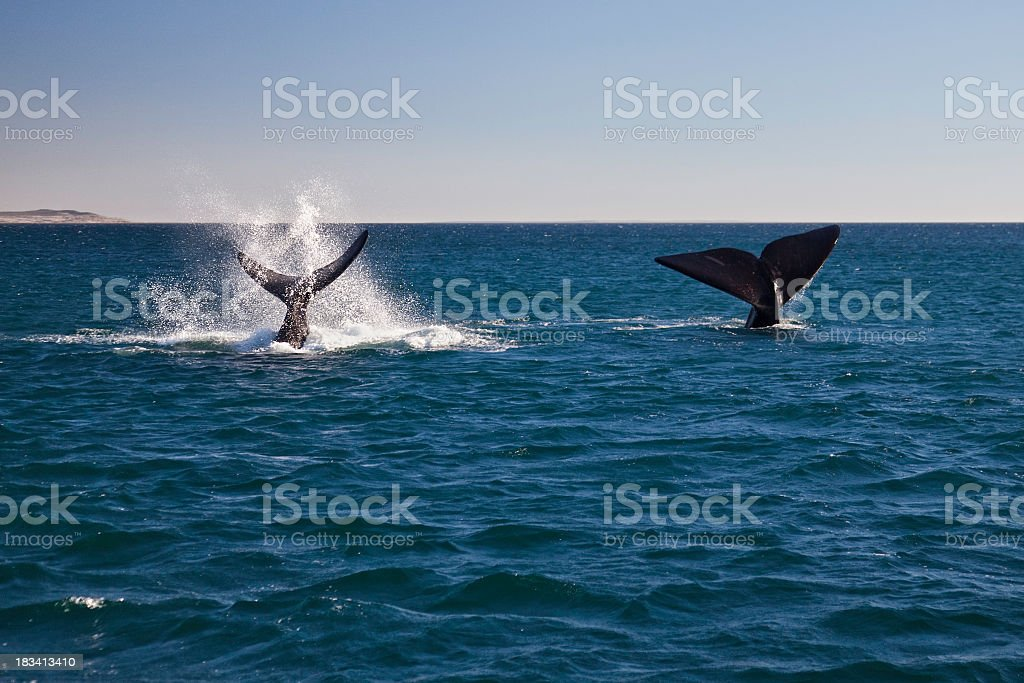 A mother and baby whale off the coast of Argentina stock photo