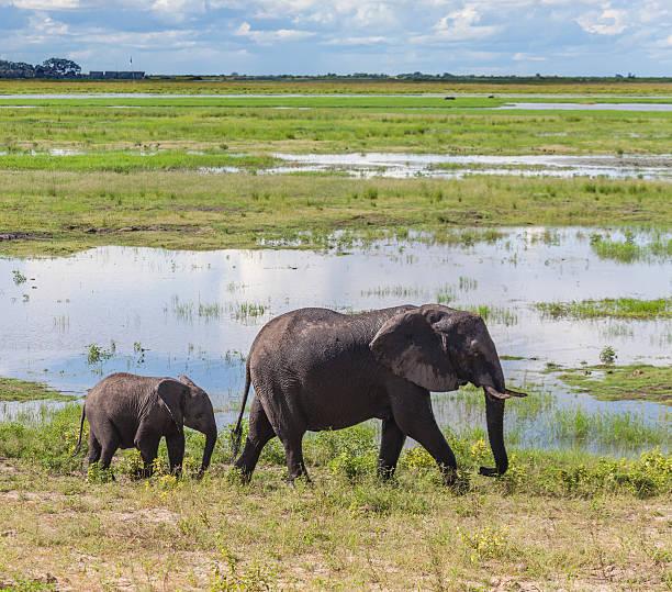 afrikanischen elefanten mutter und kalbsleder, chobe n. p., botswana, afrika - regenzeit stock-fotos und bilder