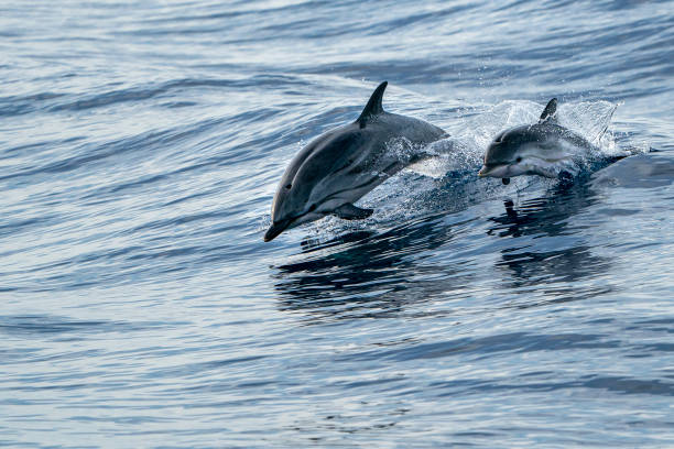 mother and calf baby striped Dolphins while jumping in the deep blue sea mother and calf baby son striped dolphin jumping outside the sea dolphin stock pictures, royalty-free photos & images