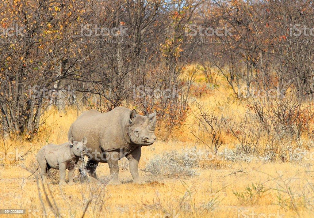 Mother and Calf Black Rhinoceros in Etosha National Park stock photo