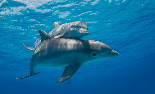 A mother Bottlenose Dolphin swims with her calf close by.