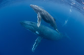 Mom and calf humpback whales make their way toward the surface in Tonga.